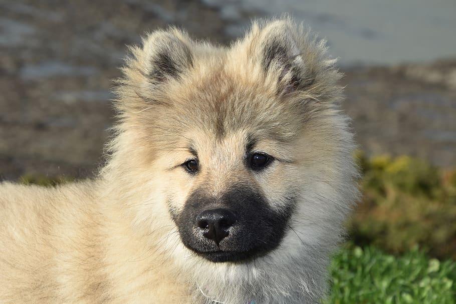 dog-pup-portrait-dog-eurasier-eurasier-dog-olafblue