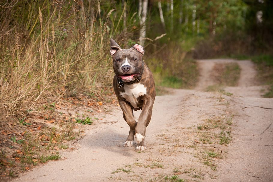 dog-run-race-amstaff