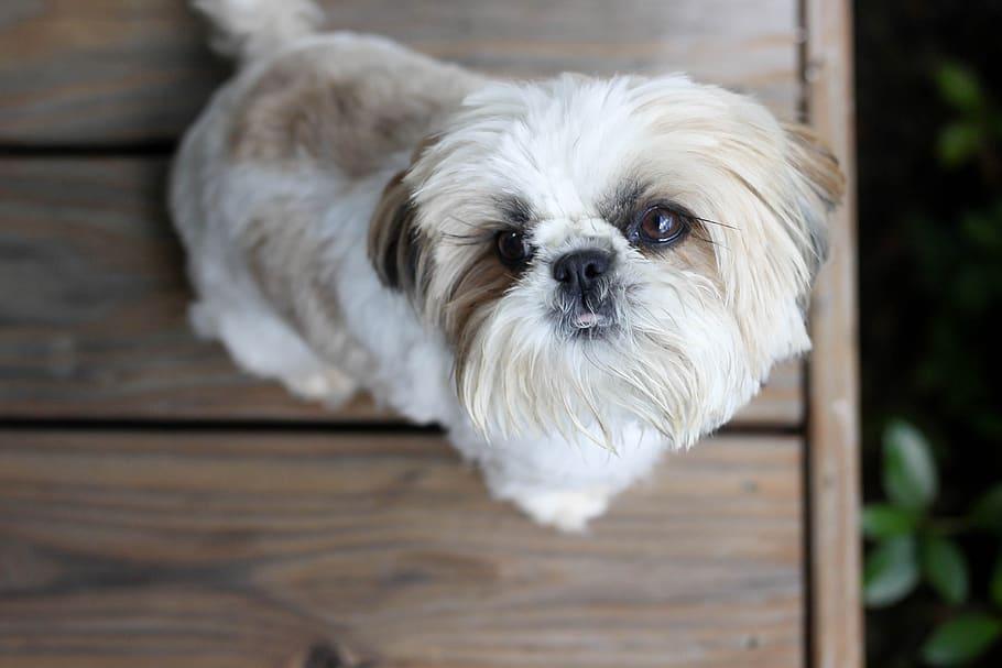 dog-shih-tzu-porch
