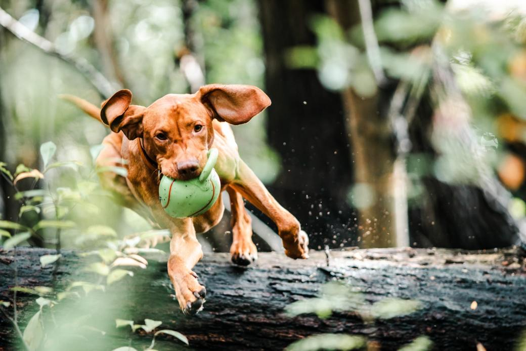 dog-with-ball-in-mouth-jumping-over-a-fallen-tree-trunk-3013467