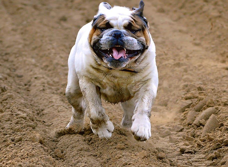 english-bulldog-pet-dog-young-dog