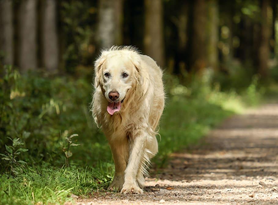 golden-retriever-dog-retriever-bitch