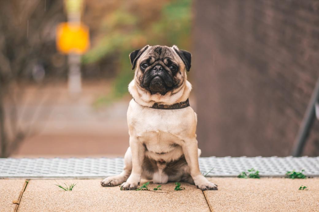 pawn-pug-sitting-on-beige-floor-1591939