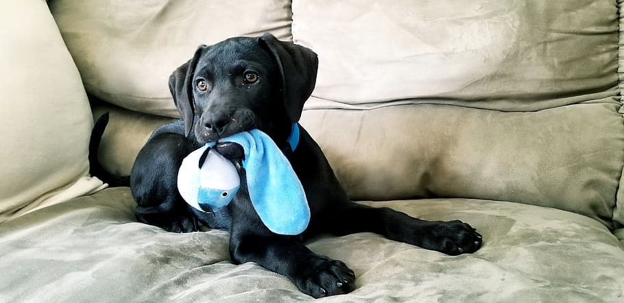 puppy-black-lab-toy-playing
