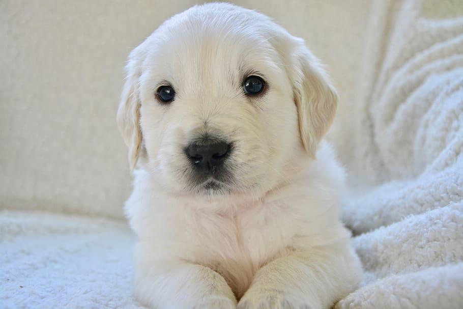 puppy-pup-dog-bitch-golden