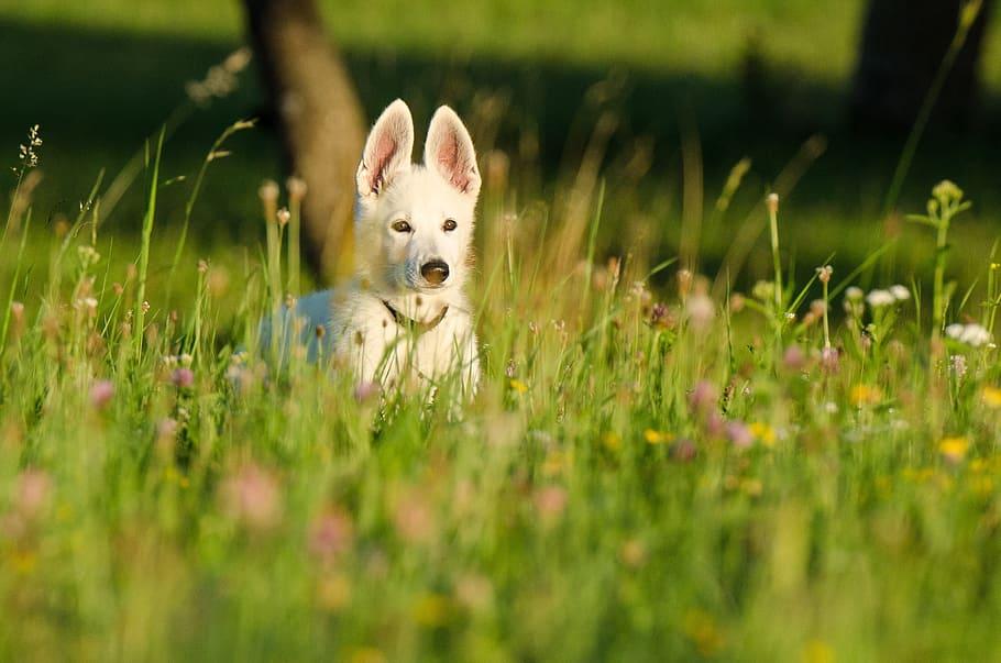 schäfer-dog-white-shepherd-puppy-animal-children