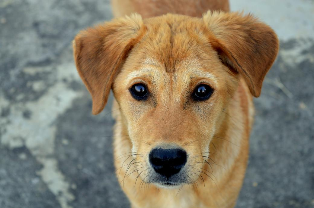 short-coated-tan-dog-1189673