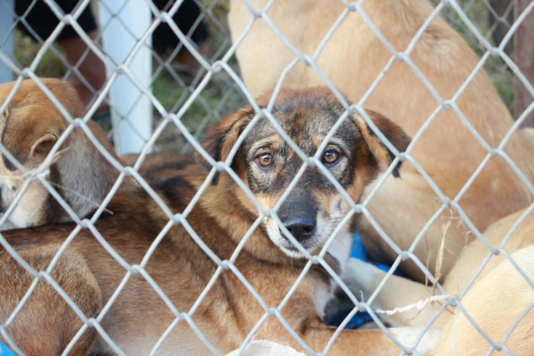 short-coated-tan-dog-inside-fence-1350563
