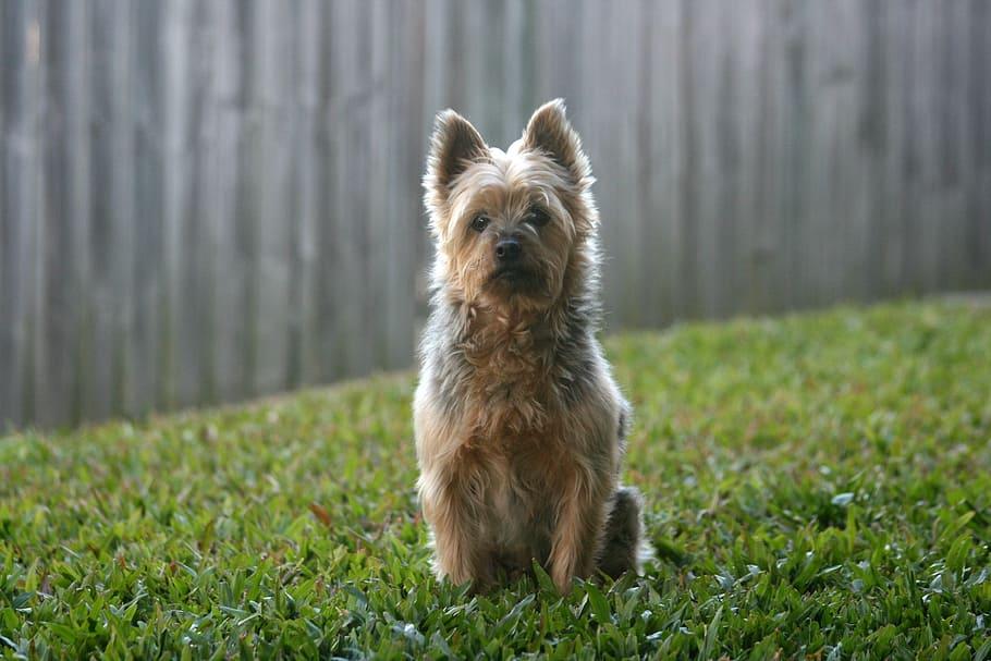 silky-silky-terrier-australian-silky-terrier-dog
