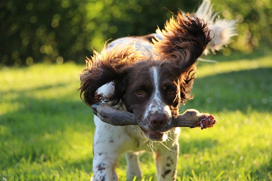 springer-spaniel-dog-training-hunting-dog