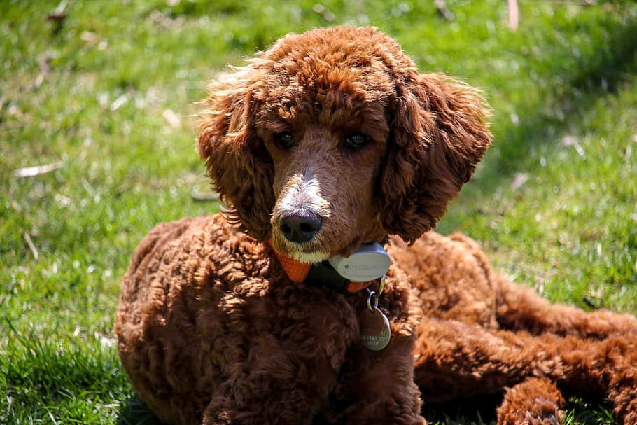 standard-poodle-puppy-brown-dog