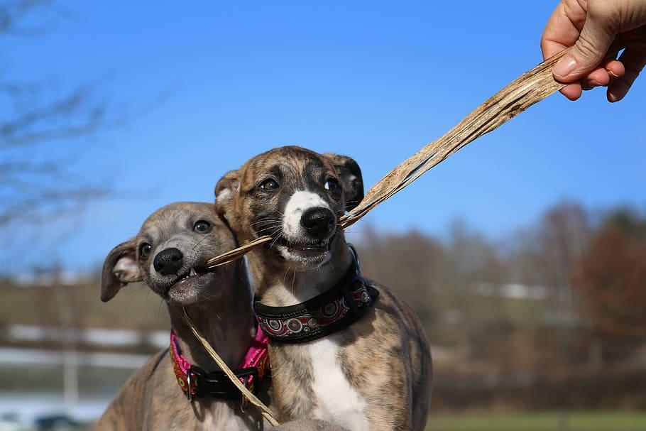 whippet-puppies-greyhound