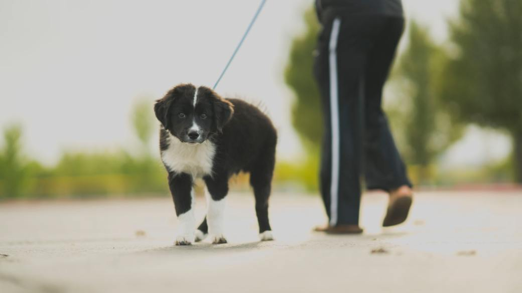 white-and-black-border-collie-puppy-walk-beside-person-in-764397