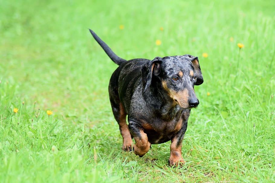 wiener-dog-dachshund-dog-wiener