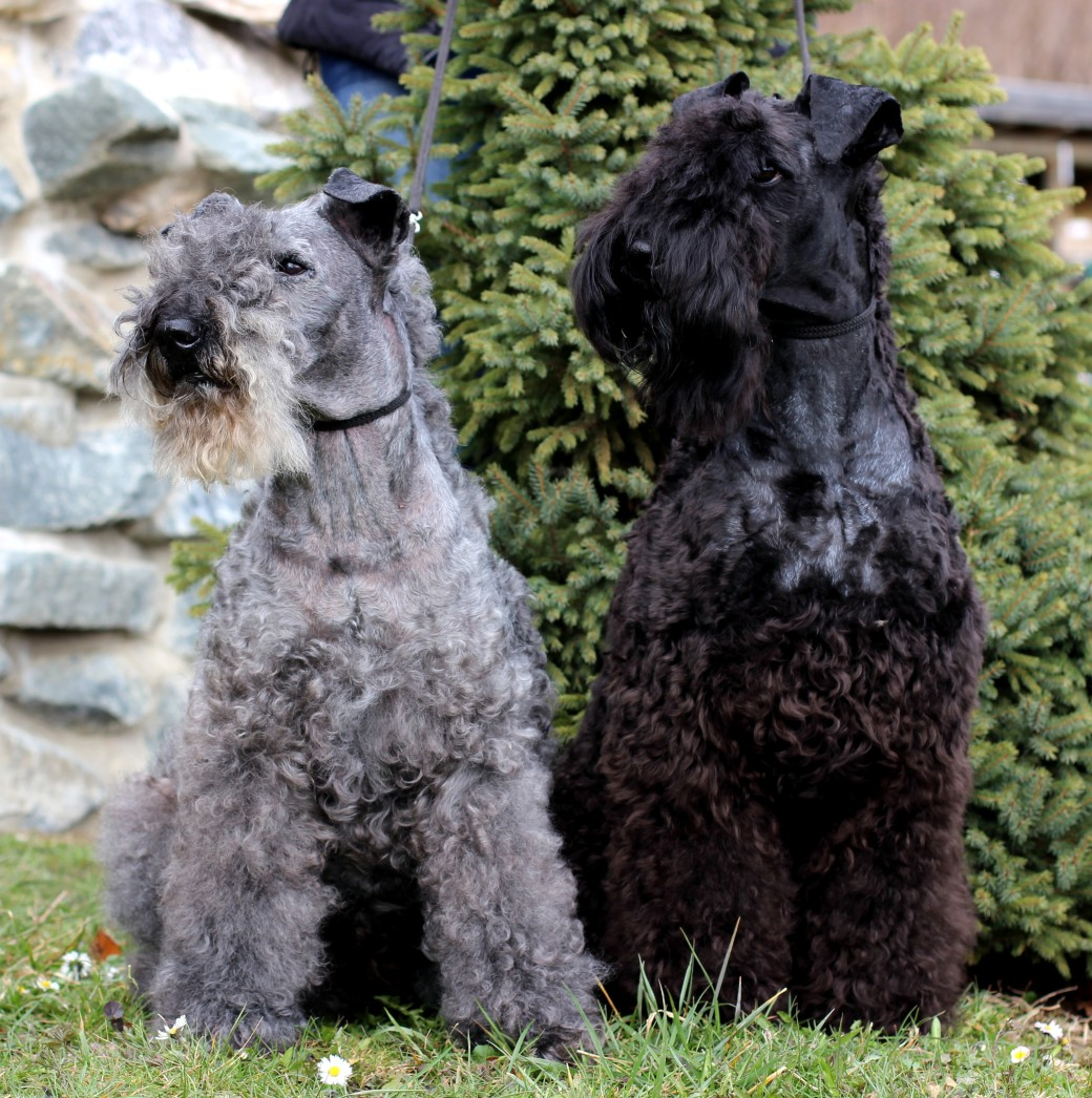 Kerry_Blue_Terrier_Kelly_with_Russell
